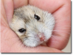 siberian_hamster_in_hand-t21